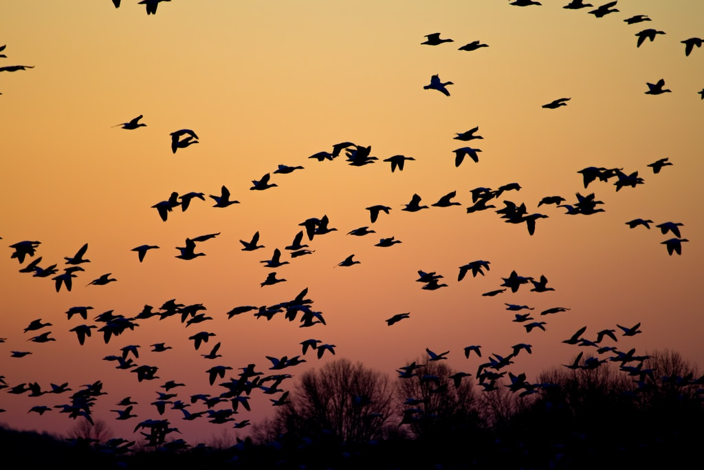 Flock of flying birds during golden hour