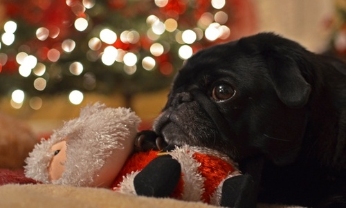 Pug with Santa