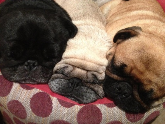 Sleeping Pugs